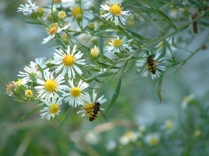 bees-on-daisies