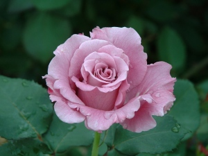 rose-with-dew