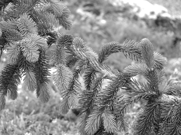 Fir branch in focus BW